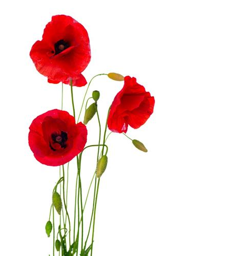 Wall Sticker Murals sticker red poppy flower isolated on a white stem
