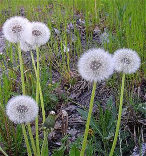 dandelion facts dandelion root facts general center steadyhealth com