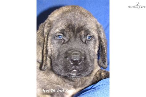 brindle mastiff puppy brindle bull mastiff puppy breeds picture