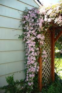Climbing Plant Names - climbing clematis pink fantasy summer flowering clematis are easy to grow they can cover a
