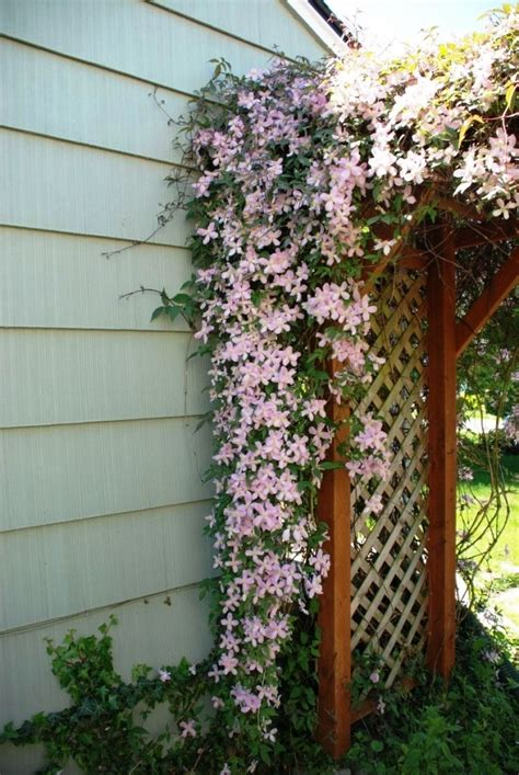 pink flowering climbing plants climbing clematis pink summer flowering