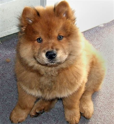 chow puppies chow chow beautiful puppy interesting facts animals lover
