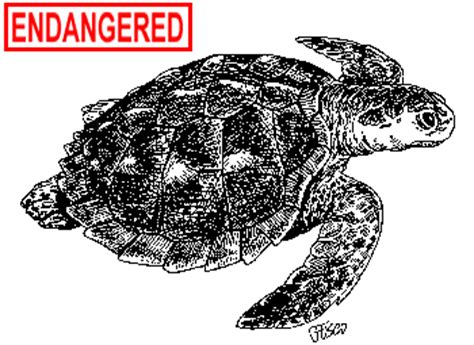 ct boating license age deep kemp s ridley sea turtle fact sheet