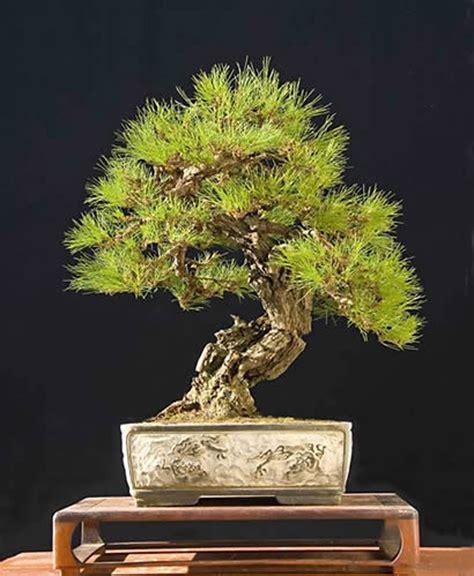 here s a thought bonsai pine bonsai a less common cousin bonsai bark