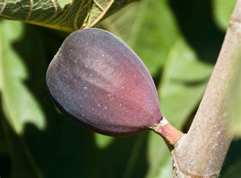 le vogelkäfig black mission fig tree www pixshark images