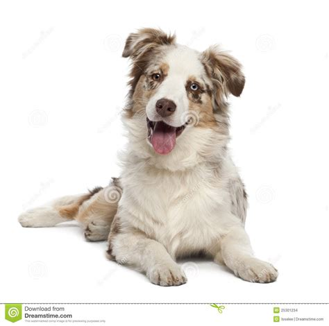 6 month puppy australian shepherd puppy 6 months stock images image 25301234