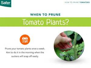 Diseased Tomato Plants - how to prune tomato plants the right way