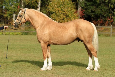 section d welsh cob palomino welsh cob section d stallion jebeth