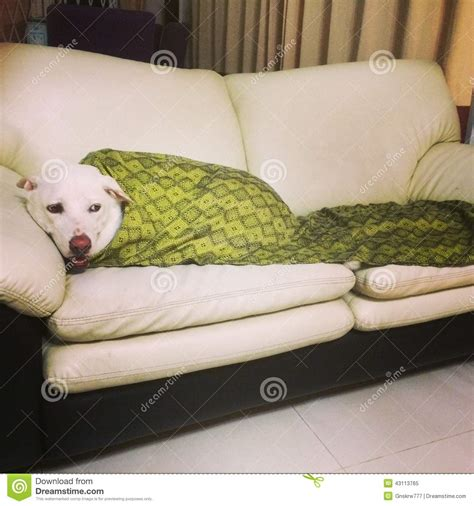 dog blanket for sofa cozy dog on a sofa stock image image of closeup single
