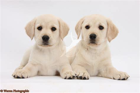 lab puppie puppy dogs labrador retriever puppies