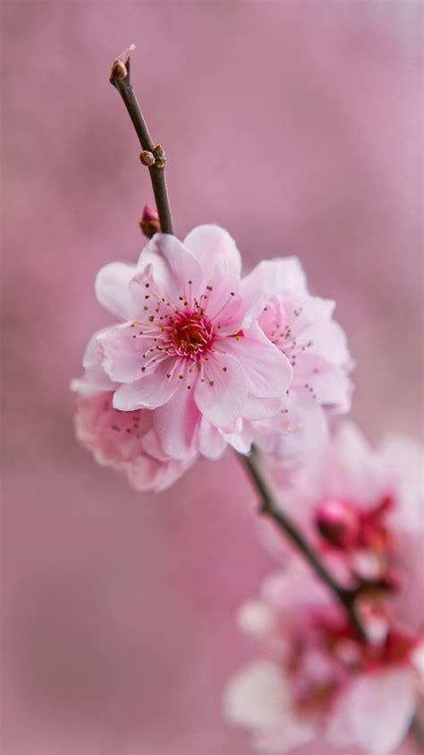 flowers in light light pink flowers wallpapers impremedia net