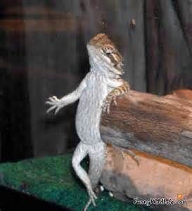 bearded dragon funny bearded dragon videos pictures funnywildlife