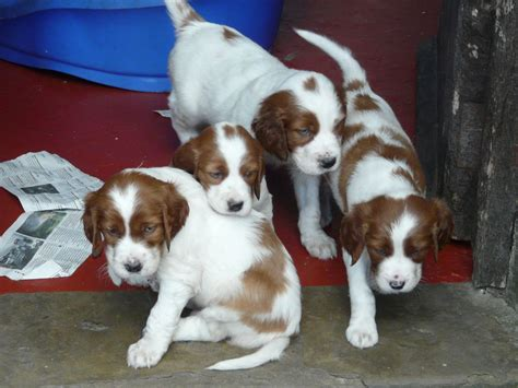setter dogs for sale uk irish red white setter puppies hebden bridge west