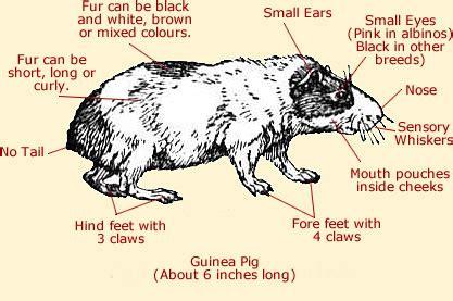 guinea pig diagram guinea pig anatomy external anatomy