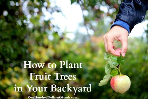 Planting Fruit Trees In Backyard by How To Plant Fruit Trees In Your Backyard One Hundred