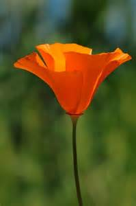 california poppy a sweet california poppy what inspires our colors