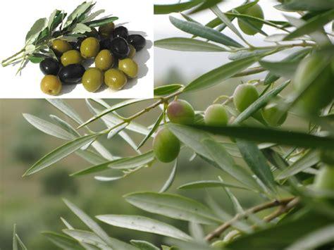 Minyak Zaitun Untuk Tubuh manfaat buah zaitun untuk kesehatan tubuh info kesehatan