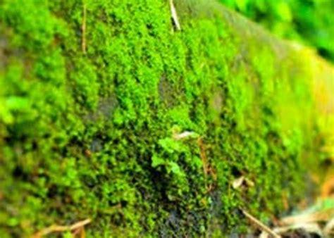 ciri ciri lumut beserta jenis  pengertian tumbuhan lumut