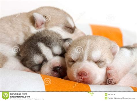 free baby puppies newborn puppy royalty free stock photos image 34730438