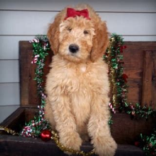 mini goldendoodles south carolina 25 best goldendoodle breeders ideas on mini