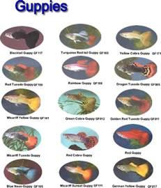 guppies colors rebirth of the aquarium musings of a teapot