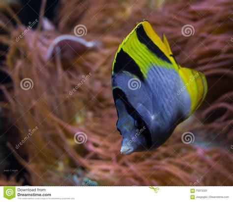 blaue und gelbe kissen blaue schwarze und gelbe tropische fische stockbild