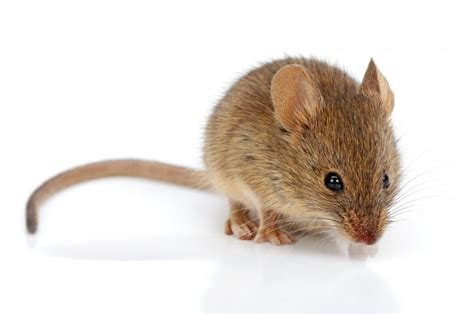 huis muis a mouse in the house rural delivery essay on rural life