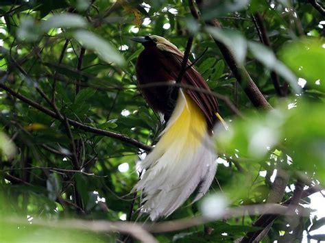bildkleiner paradiesvogel jpg tierdoku