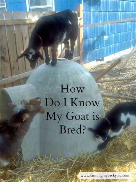 can i have goats in my backyard the 25 best breeding goats ideas on pinterest farm dog