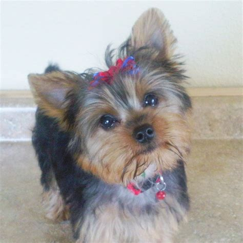 collars for yorkies 17 best images about yorkies on designer collars yorkie and pets