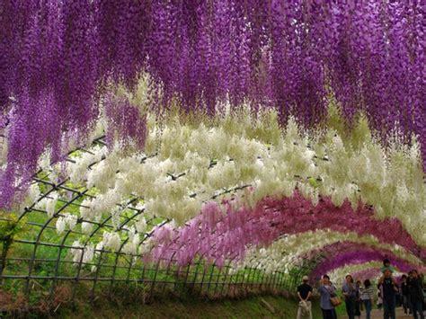 menangis lihat keindahan bunga wisteria  jepun vanilla
