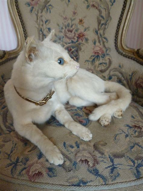 white pussy cat rare vintage taxidermy creamy white pussy cat blue glass