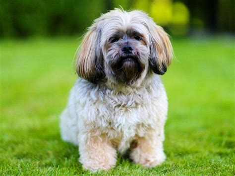 shih tzu weight average weight shih tzu 1001doggy