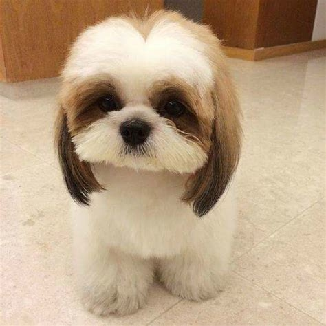 shih tzu hair types with hair their breeds picture