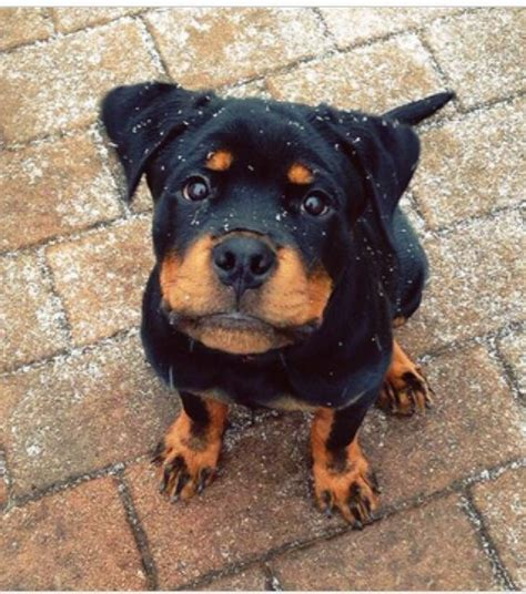 where to find rottweiler puppies best 25 rottweiler puppies ideas on puppy breeds rottweiler and