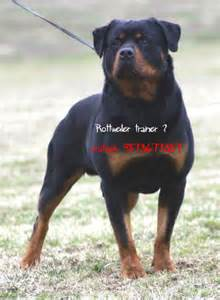 trained rottweiler sale the breed is an ancient one and its history stretches breeds picture