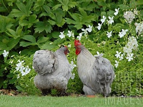 backyard poultry raising 93 best blue cochin chickens images on pinterest cochin