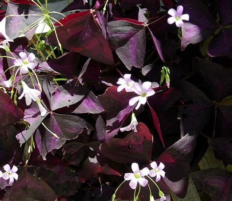 purple leaf shrub with pink flowers purple leaves with tiny pink flowers by h johnson
