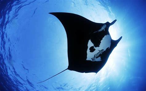 wallpaper hd blue ray big manta ray fish in blue sea hd wallpaper hd famous