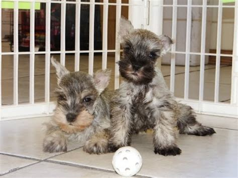 schnauzer puppies nc miniature schnauzer puppies dogs for sale in carolina nc