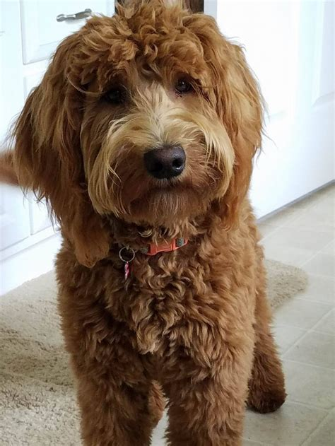 doodle doodle puppies 25 best ideas about goldendoodle on