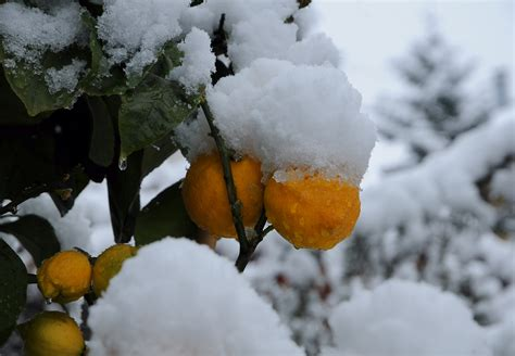 snowball oranges one mallorcan winter books orange fruit