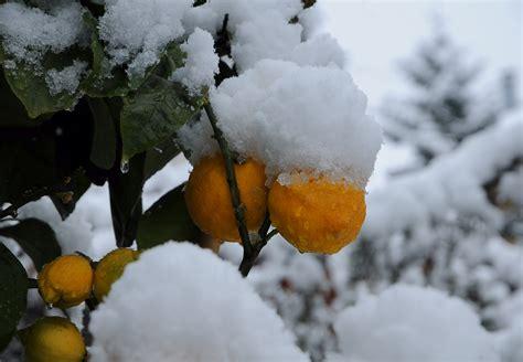 snowball oranges one mallorcan winter books orange fruit