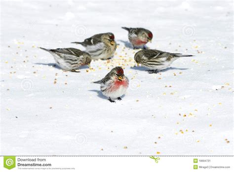 birds eating seeds on snow stock image image of winter