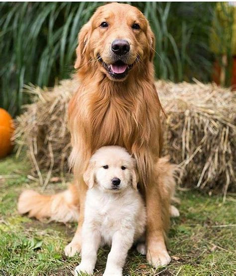 mini retriever doodle best 25 mini goldendoodle breeders ideas on