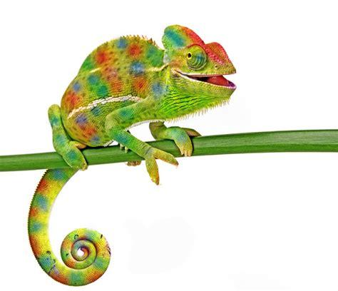 colorful chameleon colorful chameleon stock photo 01 animal stock photo