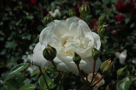 white dawn rose rosa white dawn  detroit ann arbor