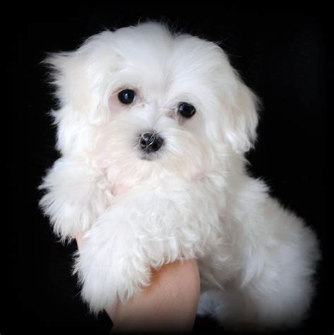 maltese puppies maltese portrait photo and wallpaper beautiful maltese portrait pictures
