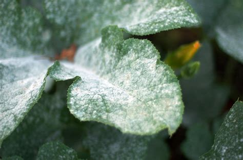 the difference between downy and powdery mildew pure