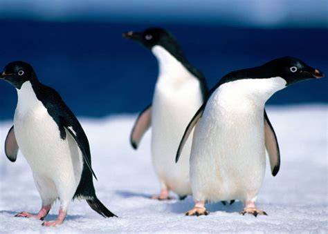 Adelie Penguins   The Life of Animals